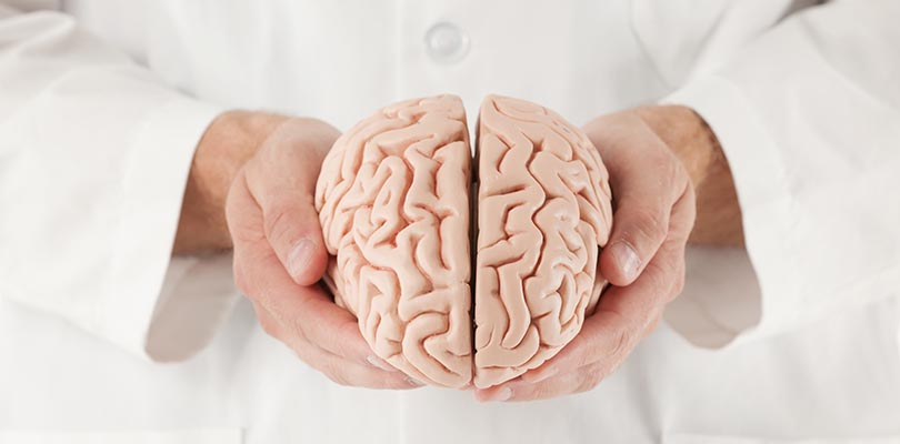 Doctor holding a brain anatomy model